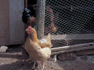 Hens at a Coop Door
