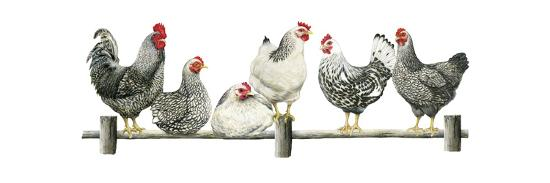 Hens, White Background-Janet Pidoux-Giclee Print