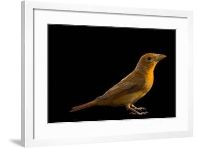 Hepatic tanager, Piranga flava-Joel Sartore-Framed Photographic Print