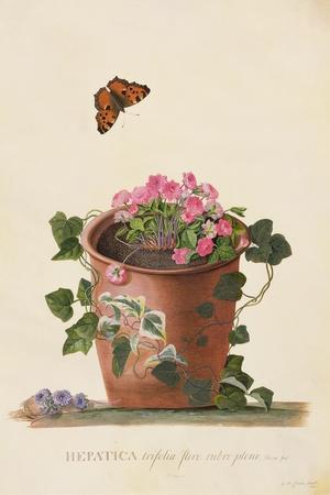 https://imgc.artprintimages.com/img/print/hepatica-trifolia-nobilis-1745_u-l-pxkt860.jpg?p=0