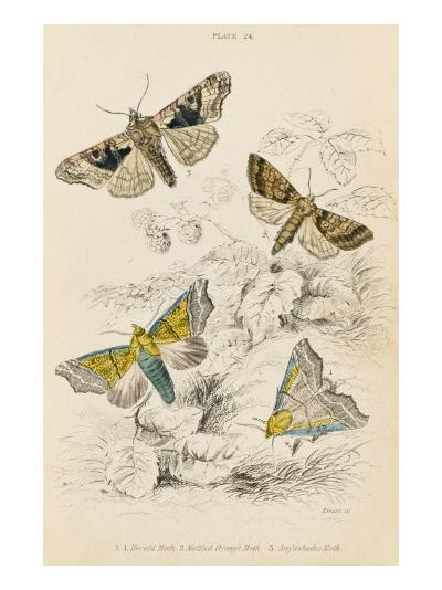 Herald Moth (Both Lower Pair) Mottled Orange Moth Angleshades Moth--Giclee Print