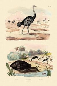 Herald Snail, 1833-39