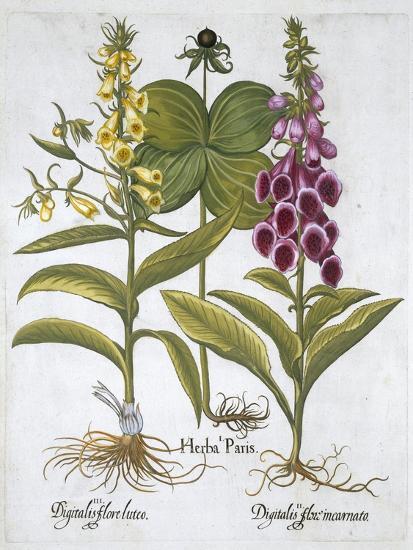 Herb Paris (Solanum quadrifolium), Common Foxglove (Digitalis Purpurea) Large Yellow Foxglove-Unknown-Giclee Print