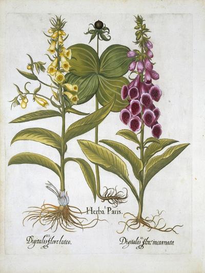 Herb Paris--Giclee Print