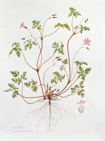 Herb Robert-Diana Everett-Giclee Print