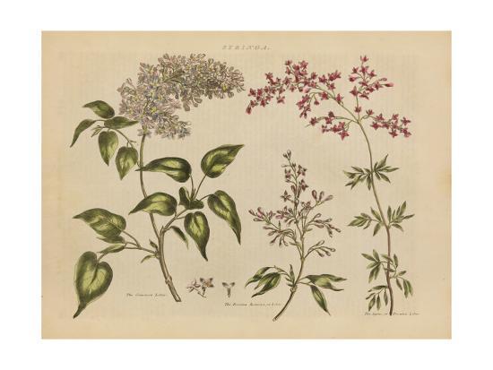 Herbal Botanical I-Wild Apple Portfolio-Art Print