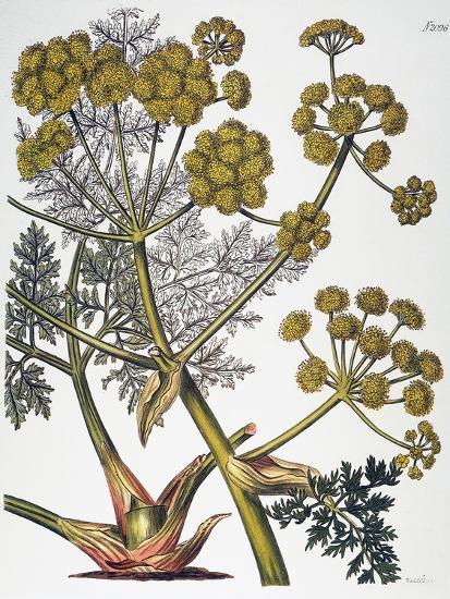 Herbal: Fennel, 1819--Giclee Print
