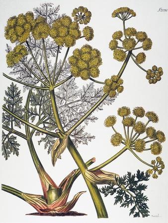 https://imgc.artprintimages.com/img/print/herbal-fennel-1819_u-l-pfde0g0.jpg?p=0