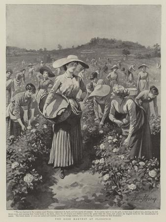 The Rose Harvest at Florence