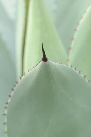 Agave, Agave Parryi, Medium Close-Up