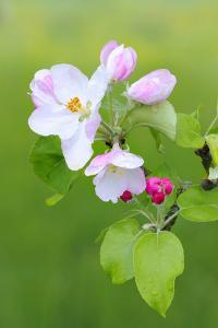 Apple Blossom, Buds, Medium Close-Up, Apple-Tree, Tree, Fork, Spring, Fruit-Tree, Pink, Pink by Herbert Kehrer