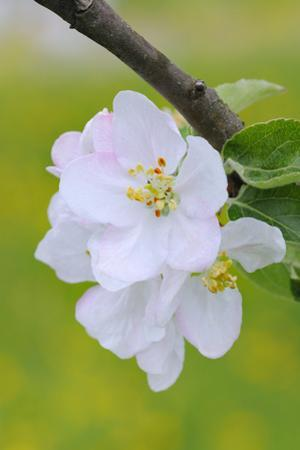 Apple Blossom, Medium Close-Up, Apple-Tree, Tree, Spring