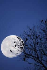 Birds, Crows, Silhouette, at Night, Moon by Herbert Kehrer