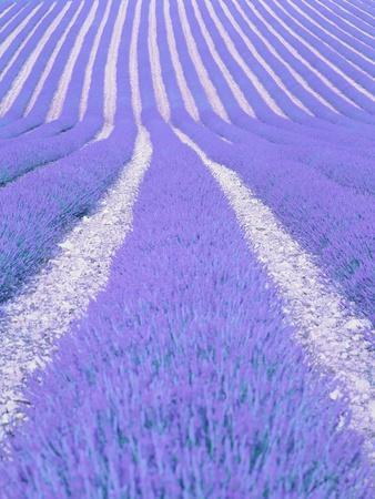 Blooming lavender in lines