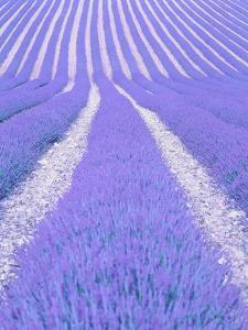 Blooming lavender in lines by Herbert Kehrer