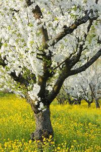 Cherry Trees, Blossom, Spring by Herbert Kehrer