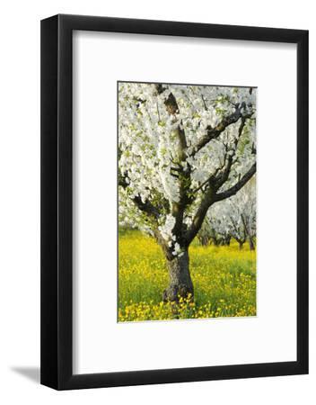 Cherry Trees, Blossom, Spring