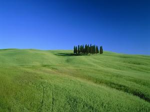 Cypresses on a field in the Tuscany by Herbert Kehrer