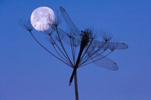 Dragonfly, Plant, Silhouette, Moon by Herbert Kehrer