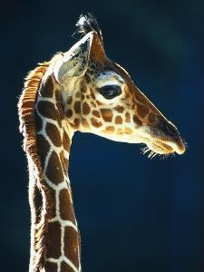 Head of a young giraffe by Herbert Kehrer
