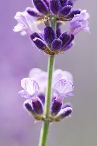 Lavender Blossoms, Close Up by Herbert Kehrer