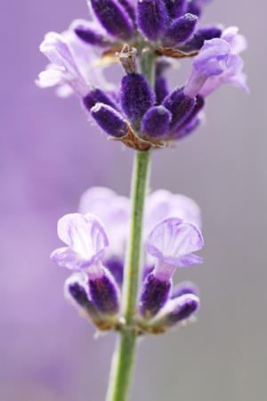 Lavender Blossoms, Close Up