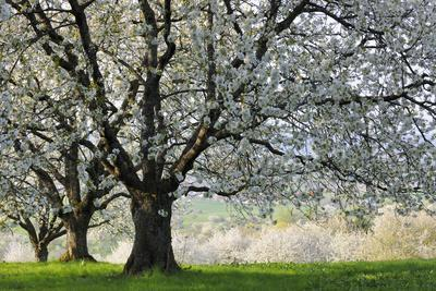 Meadow, Cherry Trees, Blossom
