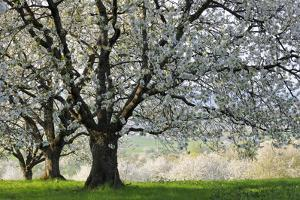 Meadow, Cherry Trees, Blossom by Herbert Kehrer