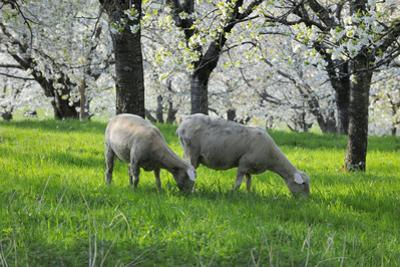 Meadow, Sheep, Graze, Cherry Trees, Breeding