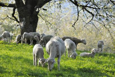 Meadow, Sheep, Graze, Cherry Trees