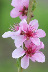 Peach-Tree, Fork, Blossoms, Detail by Herbert Kehrer