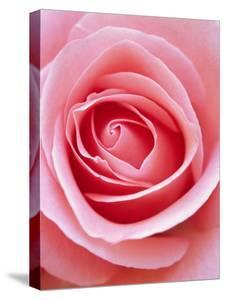 Pink rose by Herbert Kehrer