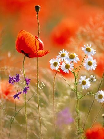 Poppy, camomile and larkspur