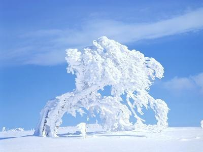 Snow-Laden Tree in Black Forest Winter Scene