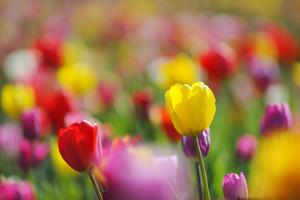 Tulips, Colours, Passed Away, Flowers, Spring Flowers, Blossoms, Differently, Spring, Yellow, Red by Herbert Kehrer