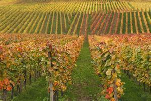 Vineyard, Vines, Autumn, Vines, Leaves by Herbert Kehrer
