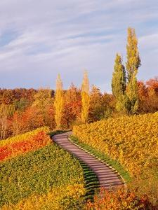 Vineyards and poplars in autumn by Herbert Kehrer