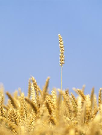 Wheat Field, Triticum Aestivum, Ears, Sky, Blue