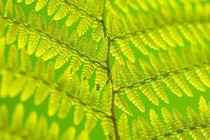 Worm-Fern, Dyopteris Filix-Mas, Leaf, Close-Up, Fern, Fern-Leaf, Fern-Plant, Fronds, Dusters, Leaf by Herbert Kehrer