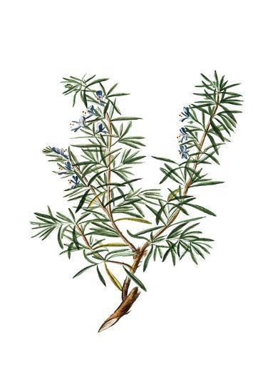Herbs on White 3-Kimberly Allen-Art Print
