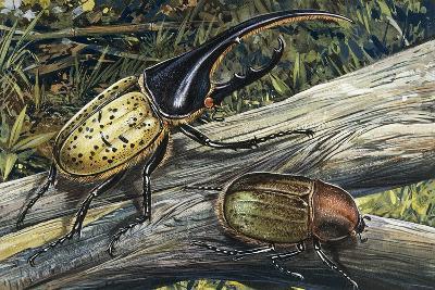 Hercules Beetle (Dynastes Hercules), Scarabaeidae--Giclee Print