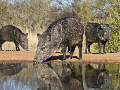Herd Drinking at Ranch Pond, Pecari Tajacu, Collared Peccary, Starr Co., Texas, Usa-Larry Ditto-Photographic Print