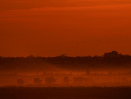 Herd of African Buffalo, Syncerus Caffer, in Mist at Twilight-Beverly Joubert-Photographic Print