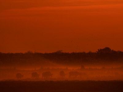 https://imgc.artprintimages.com/img/print/herd-of-african-buffalo-syncerus-caffer-in-mist-at-twilight_u-l-p8f5da0.jpg?p=0