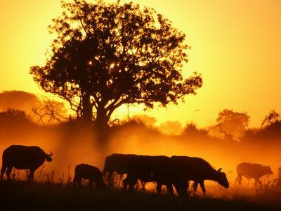 Herd of African Buffalo (Syncerus Caffer)-Beverly Joubert-Photographic Print