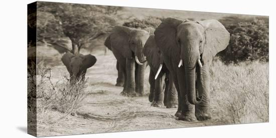 Herd of African Elephants, Kenya--Stretched Canvas Print