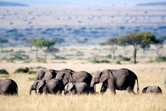 Herd of African Elephants (Loxodonta Africana) in Plains, Masai Mara National Reserve, Kenya--Photographic Print