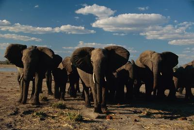 Herd of African Elephants Moving Across the Plain-Beverly Joubert-Photographic Print