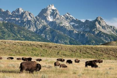 Herd of American Bison-Bob Gibbons-Photographic Print