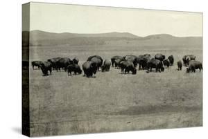 Herd of Buffalo Grazing